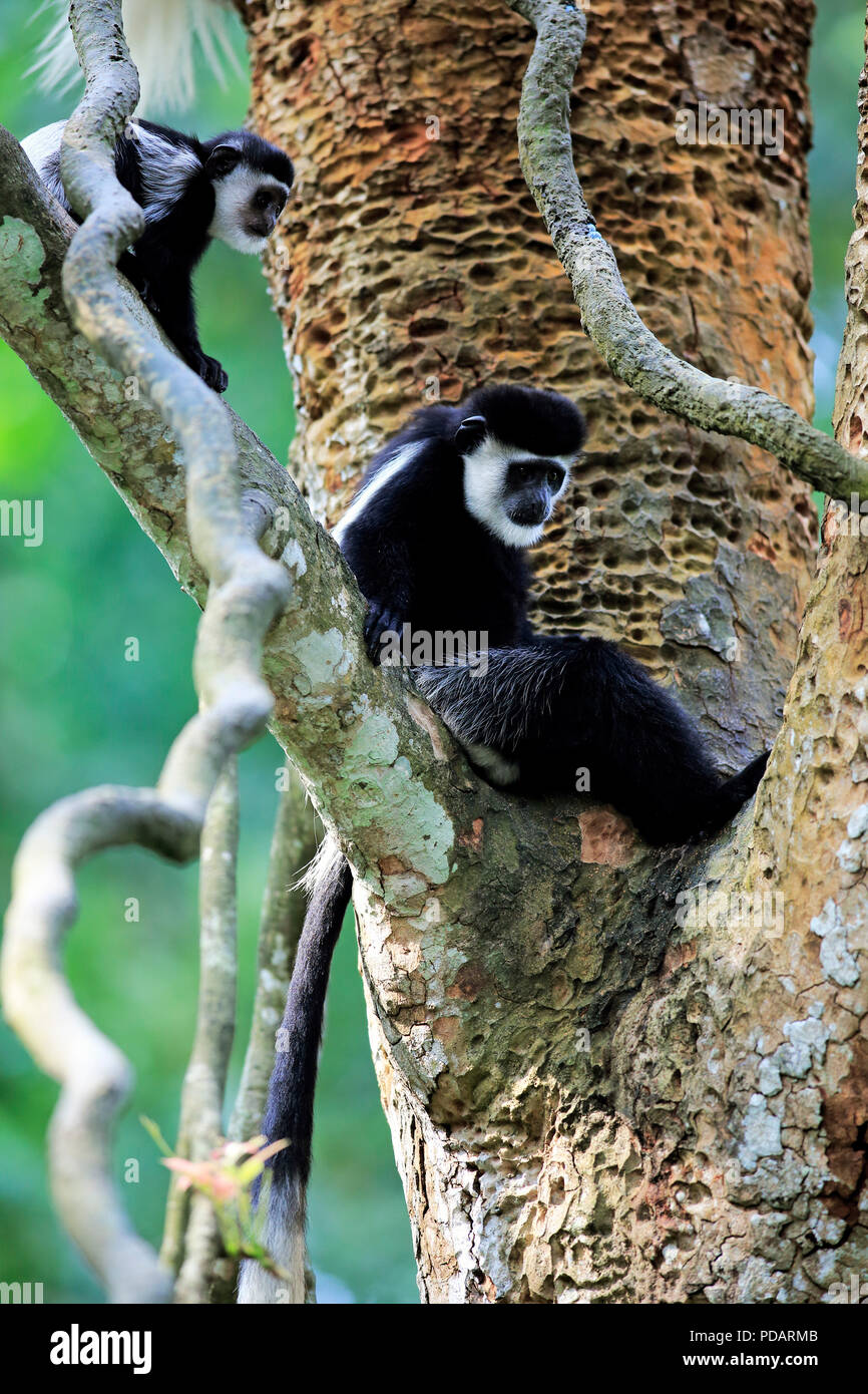 Angolan black and white Colobus, adult female with young on tree, Africa, Colobus angolensis - Stock Image