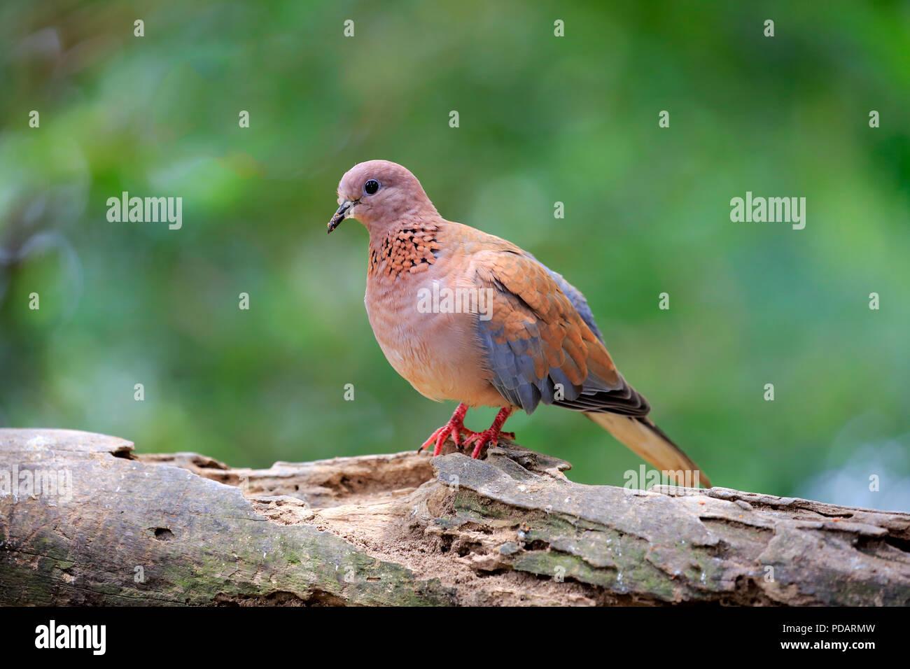 Laughing Dove, adult on tree, captive, Singapore, Asia, Streptopelia senegalensis Stock Photo