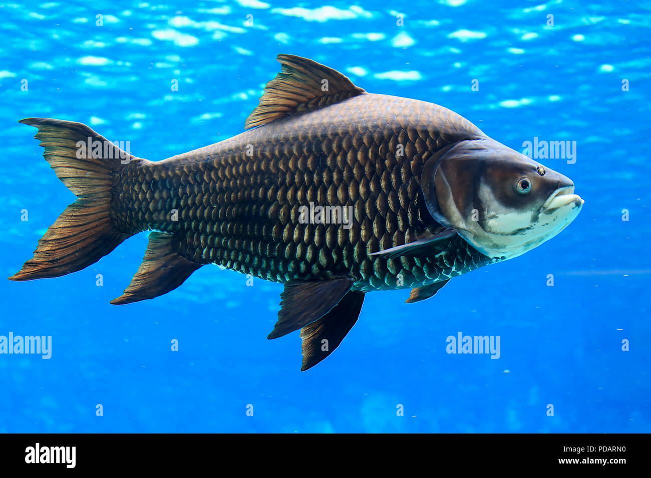 Giant barb, Siamese giant carp, captive, Singapore, Asia, Catlocarpio siamensis - Stock Image