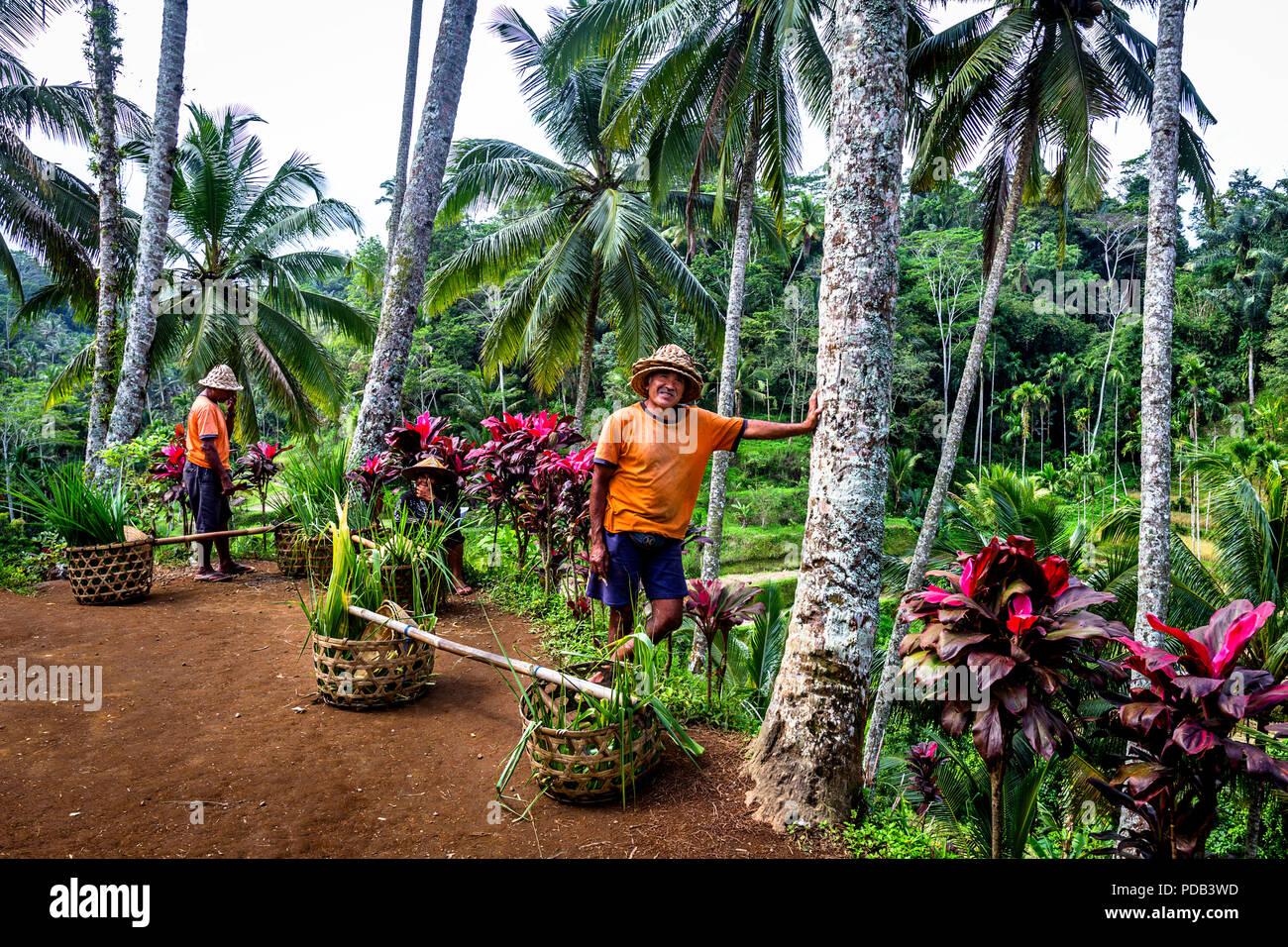 Ricefields tegallang - Kedisan, Tegallalang, Kabupaten Gianyar, Bali 80561 - Stock Image