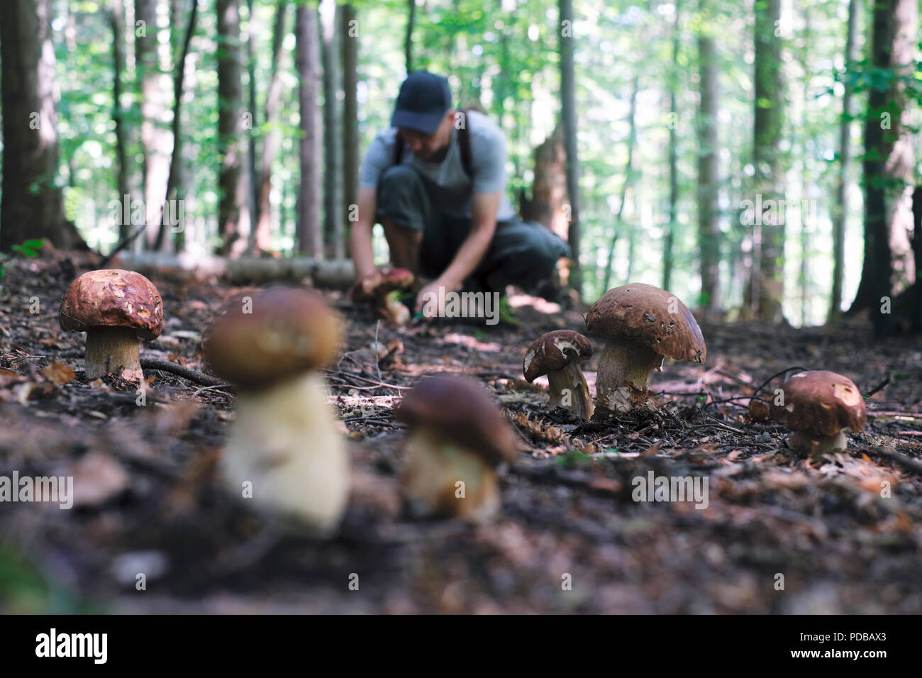 Man collect mushrooms - Stock Image