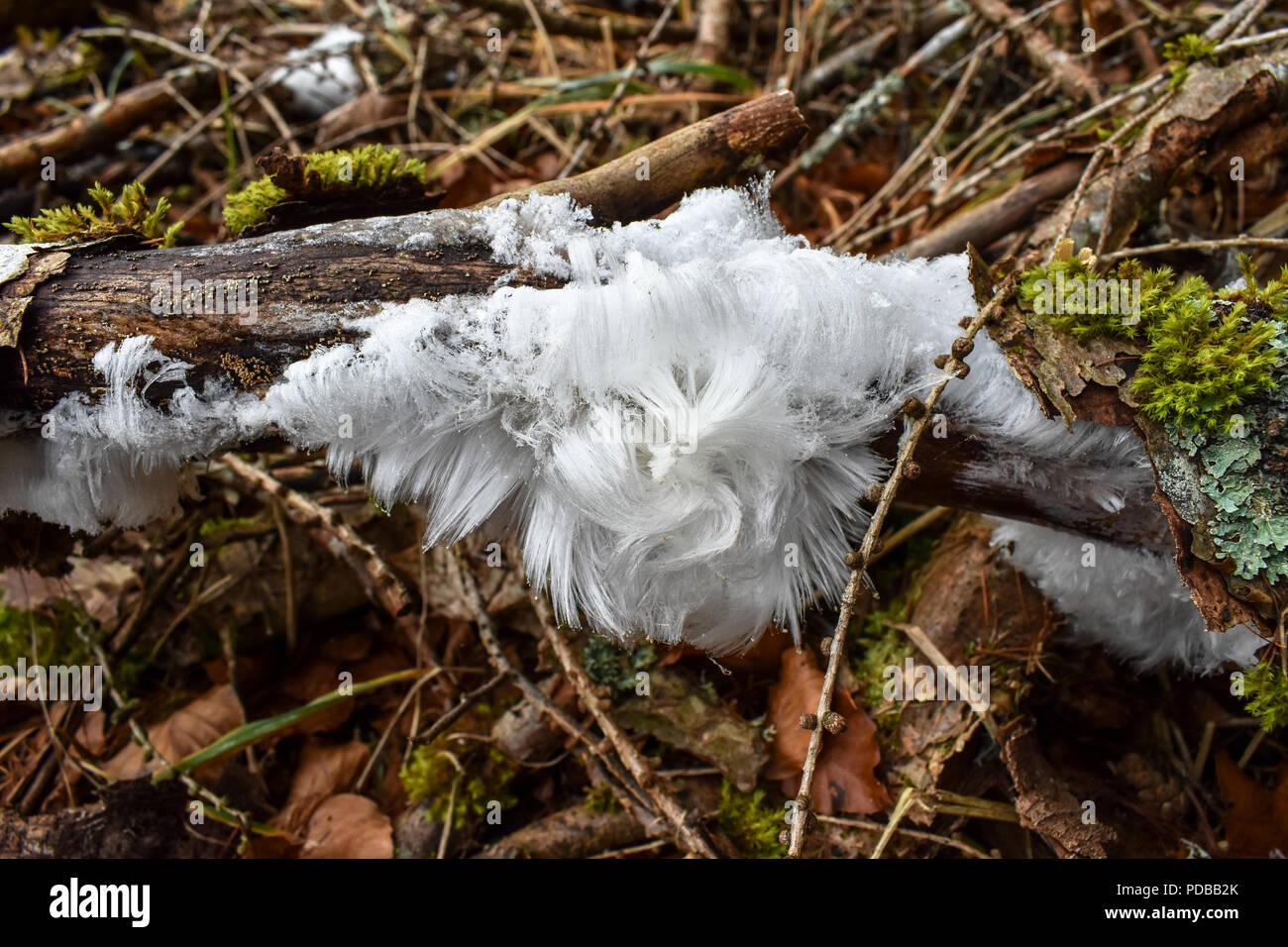 Haareis - ein seltenes und bizarres Naturphänomen - Stock Image