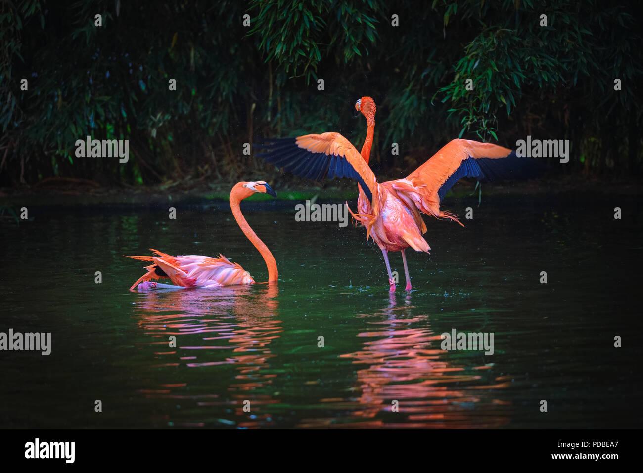 Two Caribbean Flamingos in a lake Stock Photo