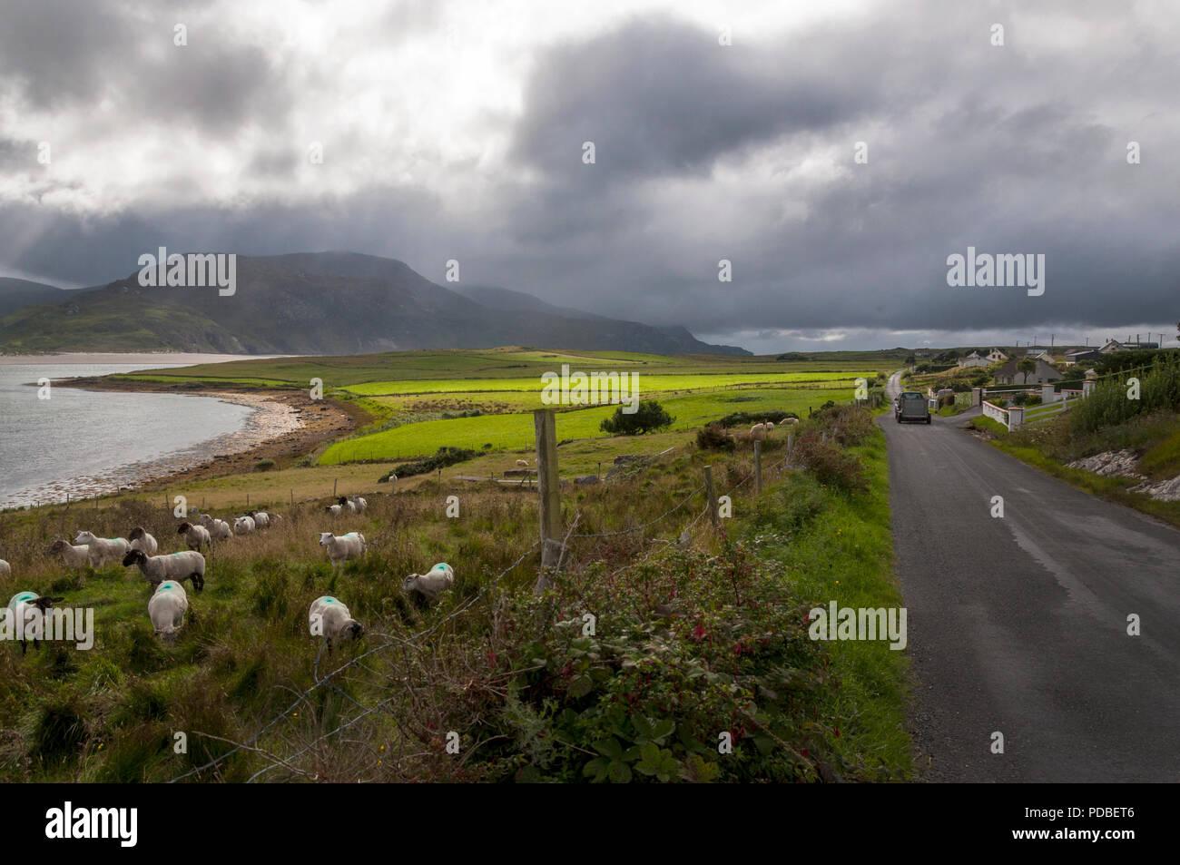 Sheep graze in a field in County Donegal Atlantic Ocean coast, Ireland - Stock Image