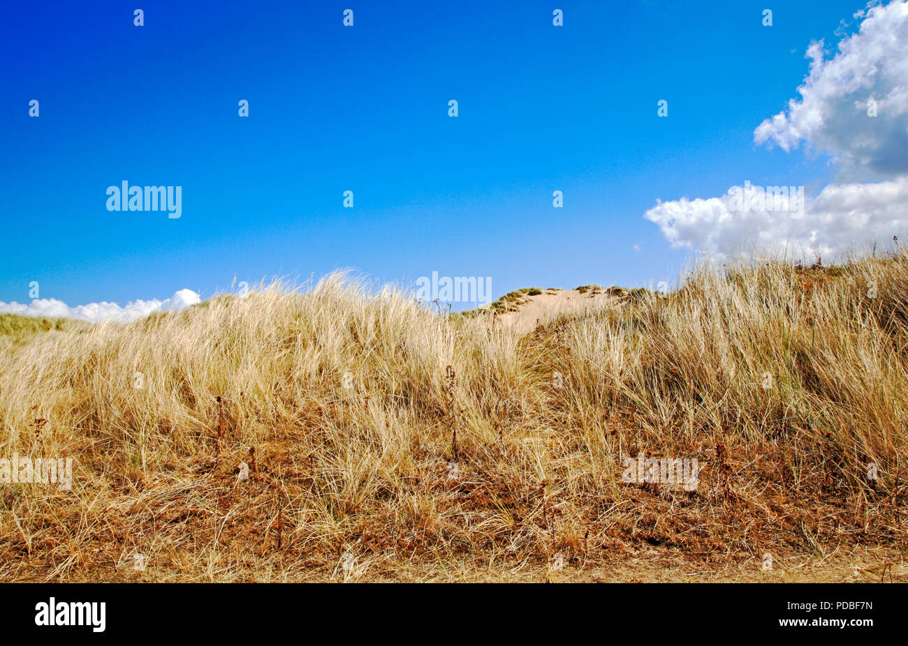 Marram Grass, Ammophilia arenaria, on sand dunes on the North Norfolk coast at Burnham Overy Staithe, Norfolk, England, United Kingdom, Europe. - Stock Image