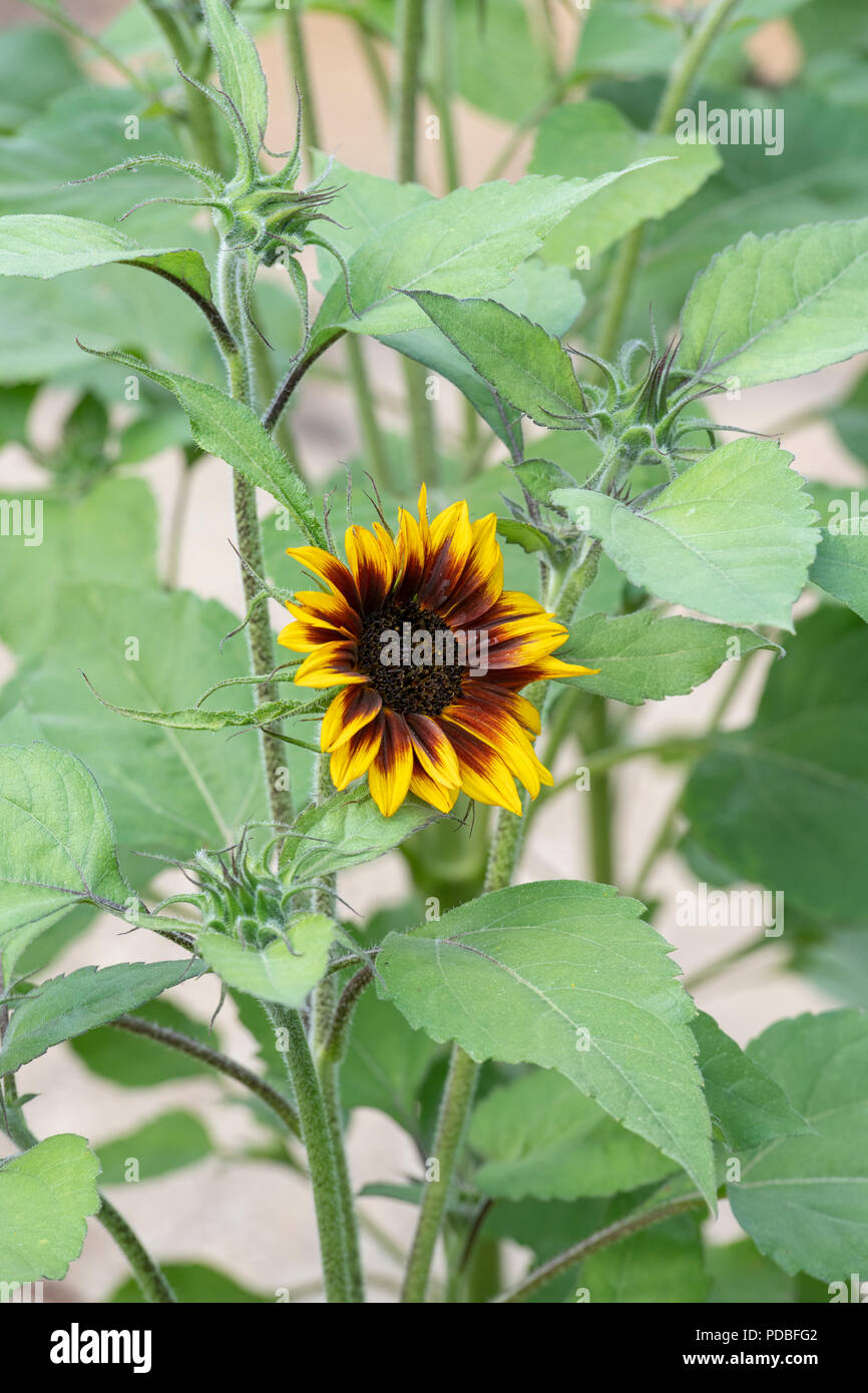 Helianthus annuus 'Ring of Fire' . Sunflower 'Ring of Fire' in an english garden. UK - Stock Image