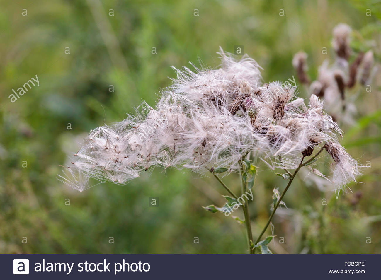 Windblown pappus of Cirsium arvense creeping thistle Canada thistle in Lynde Shores Conservation area in Whitby Ontario Canada - Stock Image