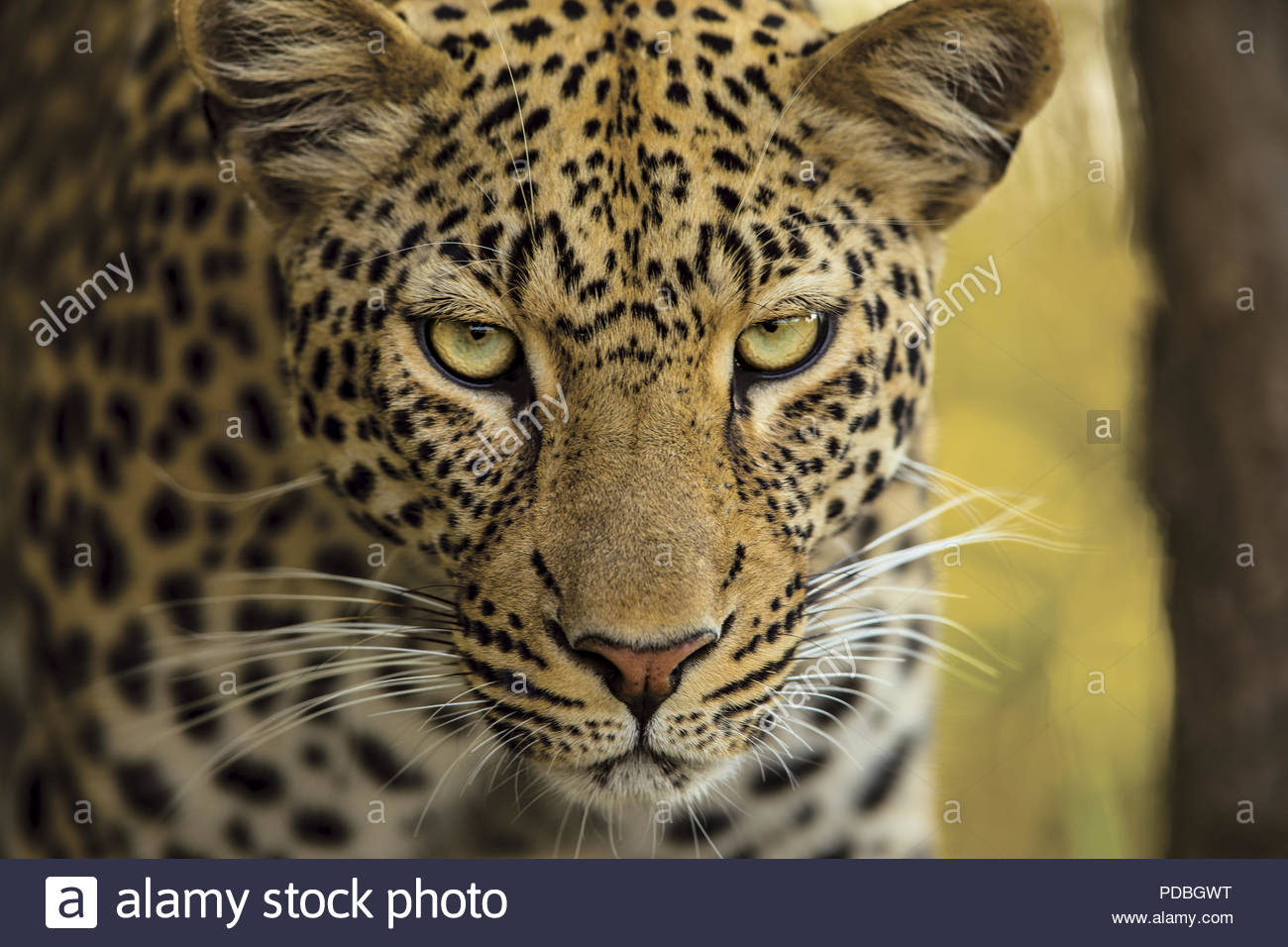 The Face Of A Leopard Stock Photo 214769684 Alamy