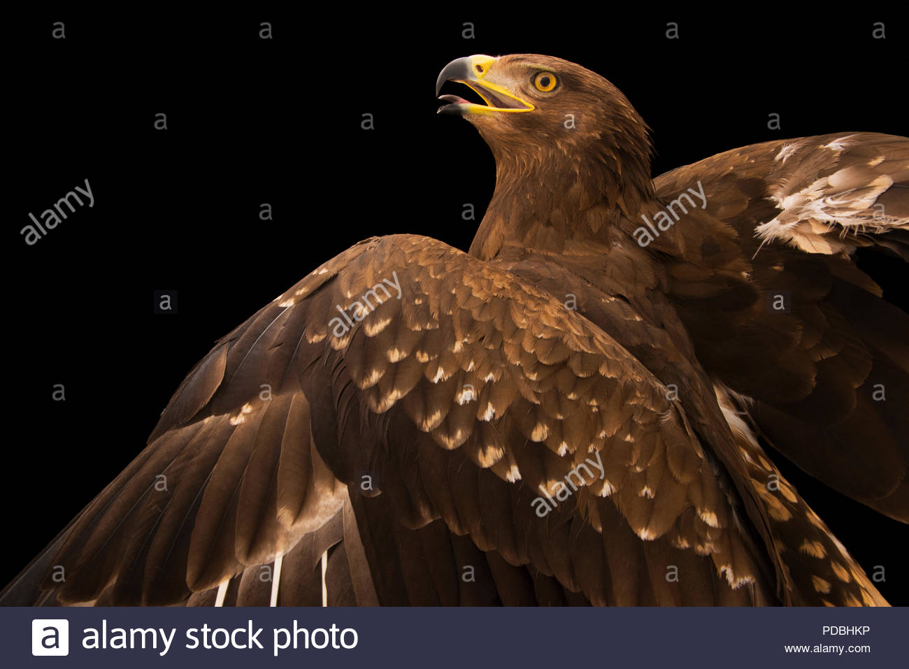 A lesser spotted eagle, Aquila pomarina, at Sia, the Comanche Nation Ethno-Ornithological Initiative. - Stock Image