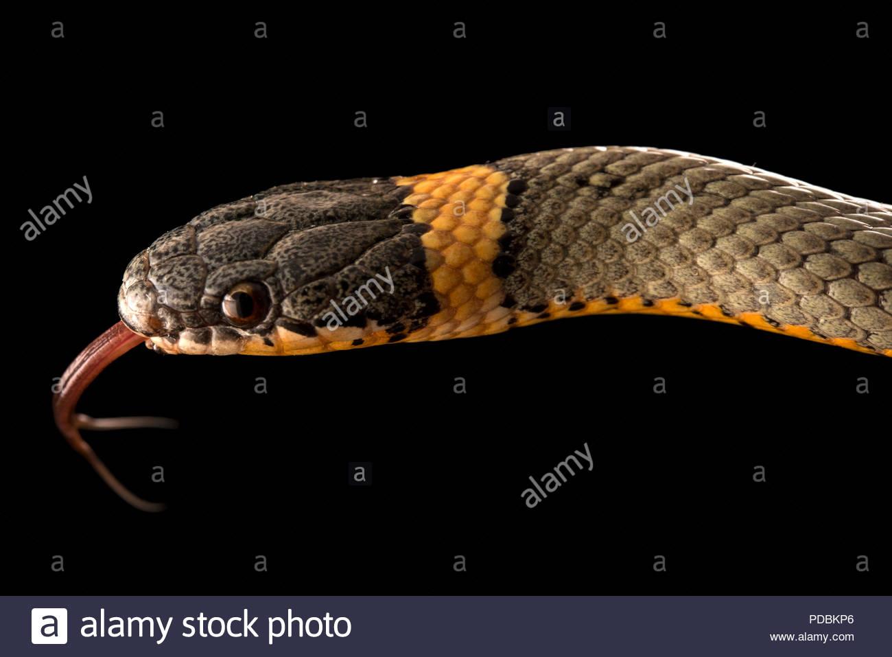 Regal ringneck snake, Diadophis punctatus regalis, at the Arizona Sonora Desert Museum. - Stock Image
