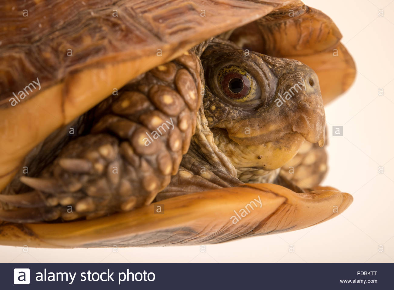 Northern spotted box turtle, Terrapene nelsoni klauberi, at the Arizona-Sonora Desert Museum. - Stock Image