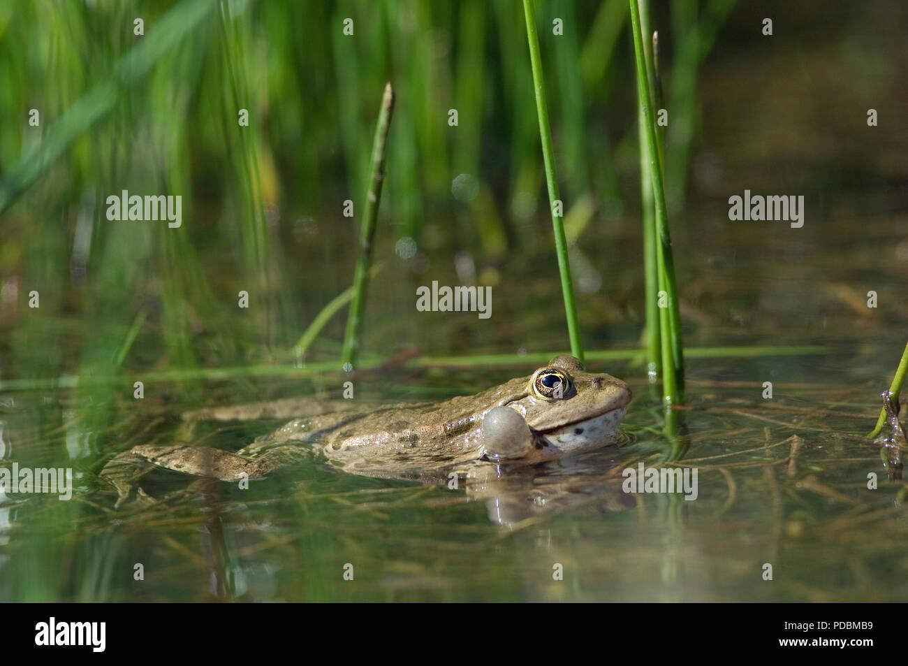 Grenouille de Lesson - sacs vocaux gonflés - Pool Frog - Vocal sacs inflated - Rana lessonae - Stock Image