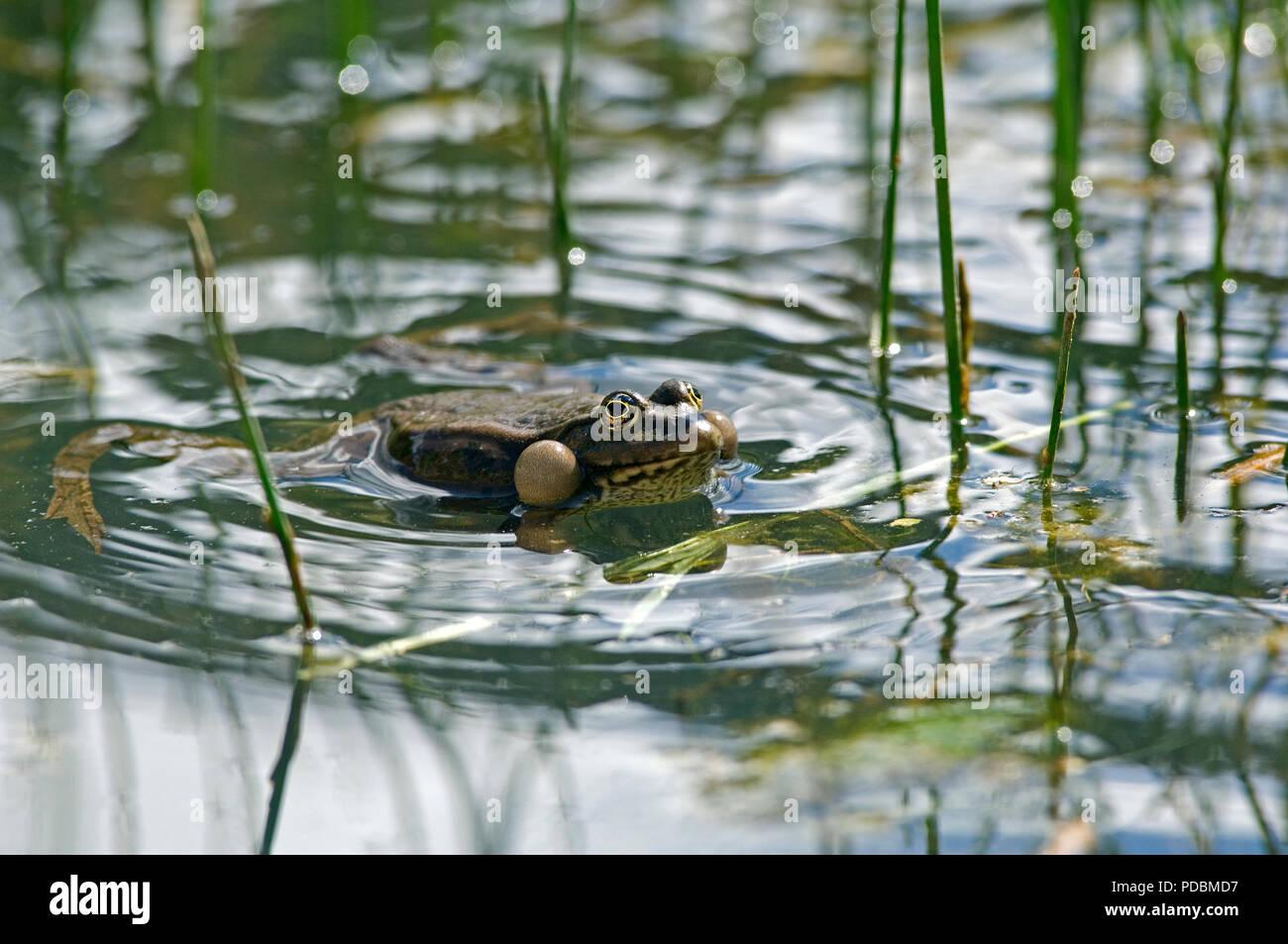 Grenouille rieuse - Sacs vocaux gonflés - Marsh Frog - Vocal sacs inflated - Rana ridibunda - Stock Image