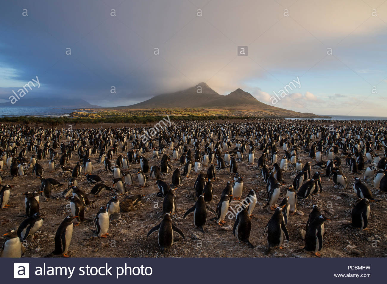 A gentoo penguin colony on Steeple Jason Island. - Stock Image