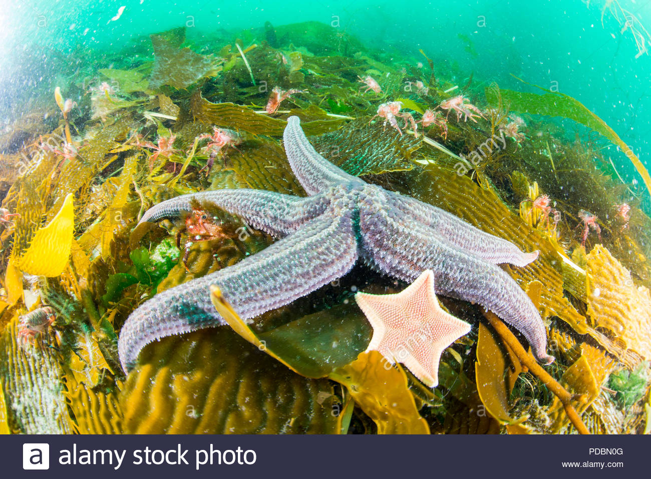 Lobster krill and starfish on the seafloor off of Arch Island. - Stock Image