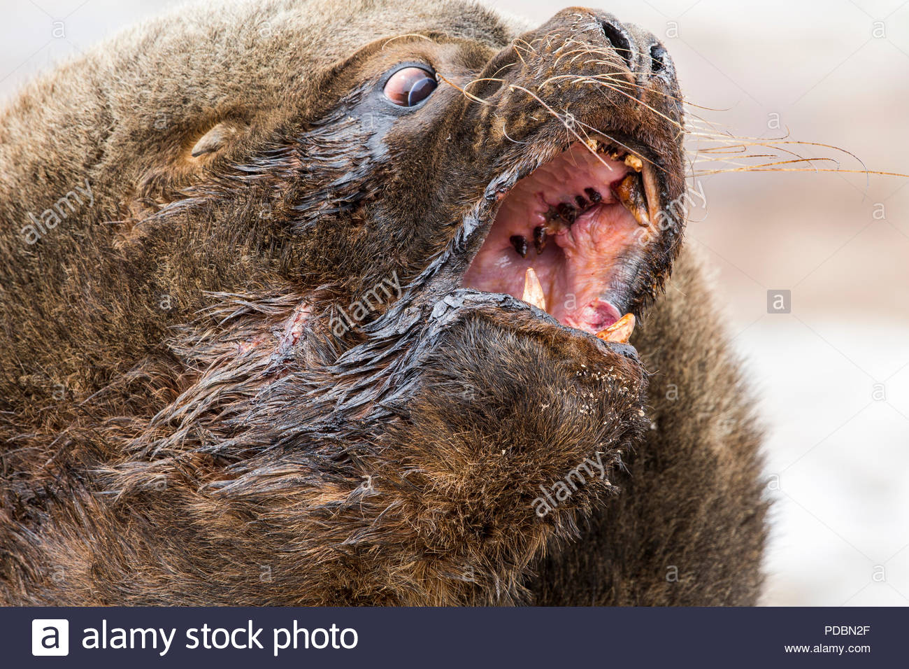 A male southern sea lion, about nine feet long and 800 pounds. - Stock Image