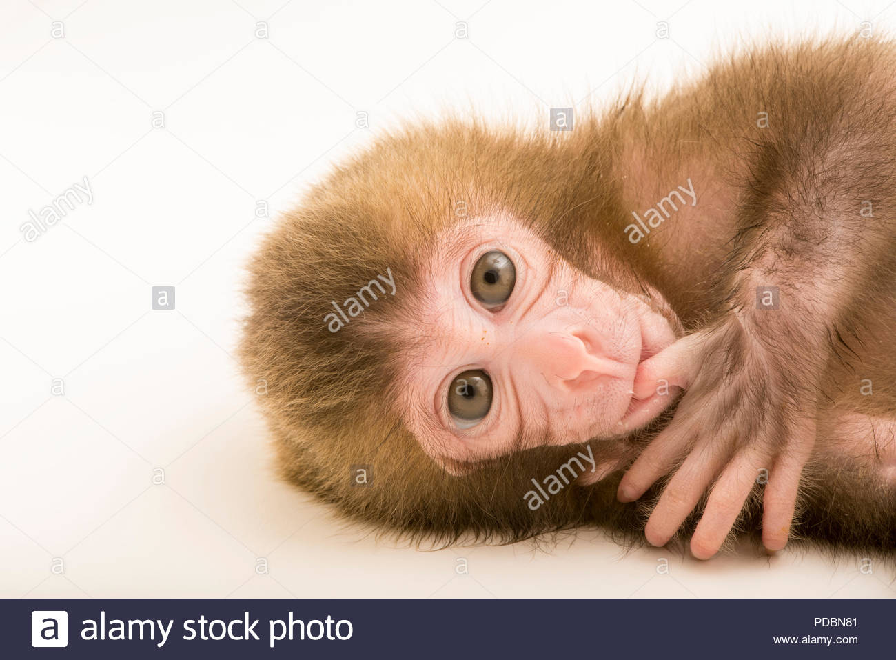 A Japanese macaque or snow monkey, Macaca fuscata, at the Blank Park Zoo. Stock Photo