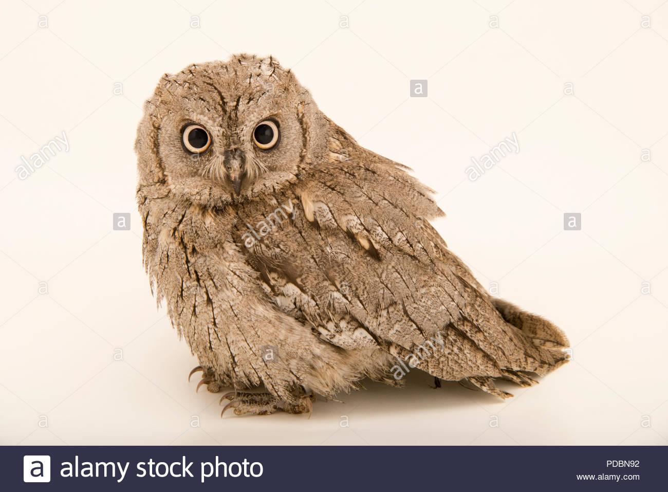 Eurasian scops owl, Otus scops scops, at Alpenzoo in Innsbruck, Austria. - Stock Image