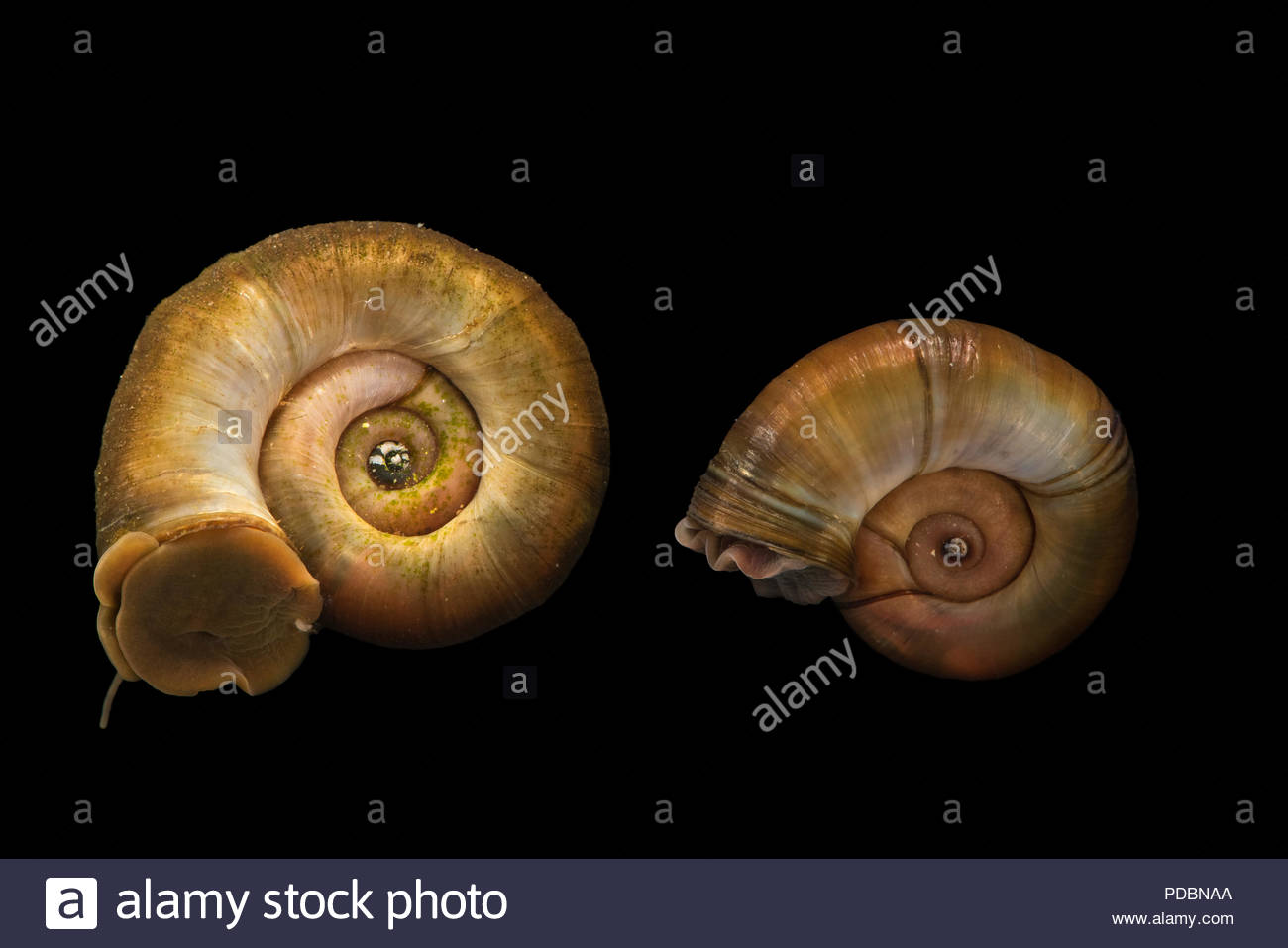 Great ramshorn snails, Planorbarius corneus, at Alpenzoo in Innsbruck, Austria. Stock Photo