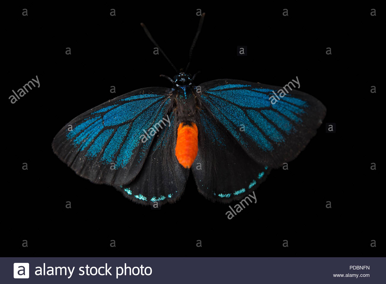 Atala butterfly, Eumaeus atala, at the McGuire Center of the Florida Museum of Natural History. Stock Photo