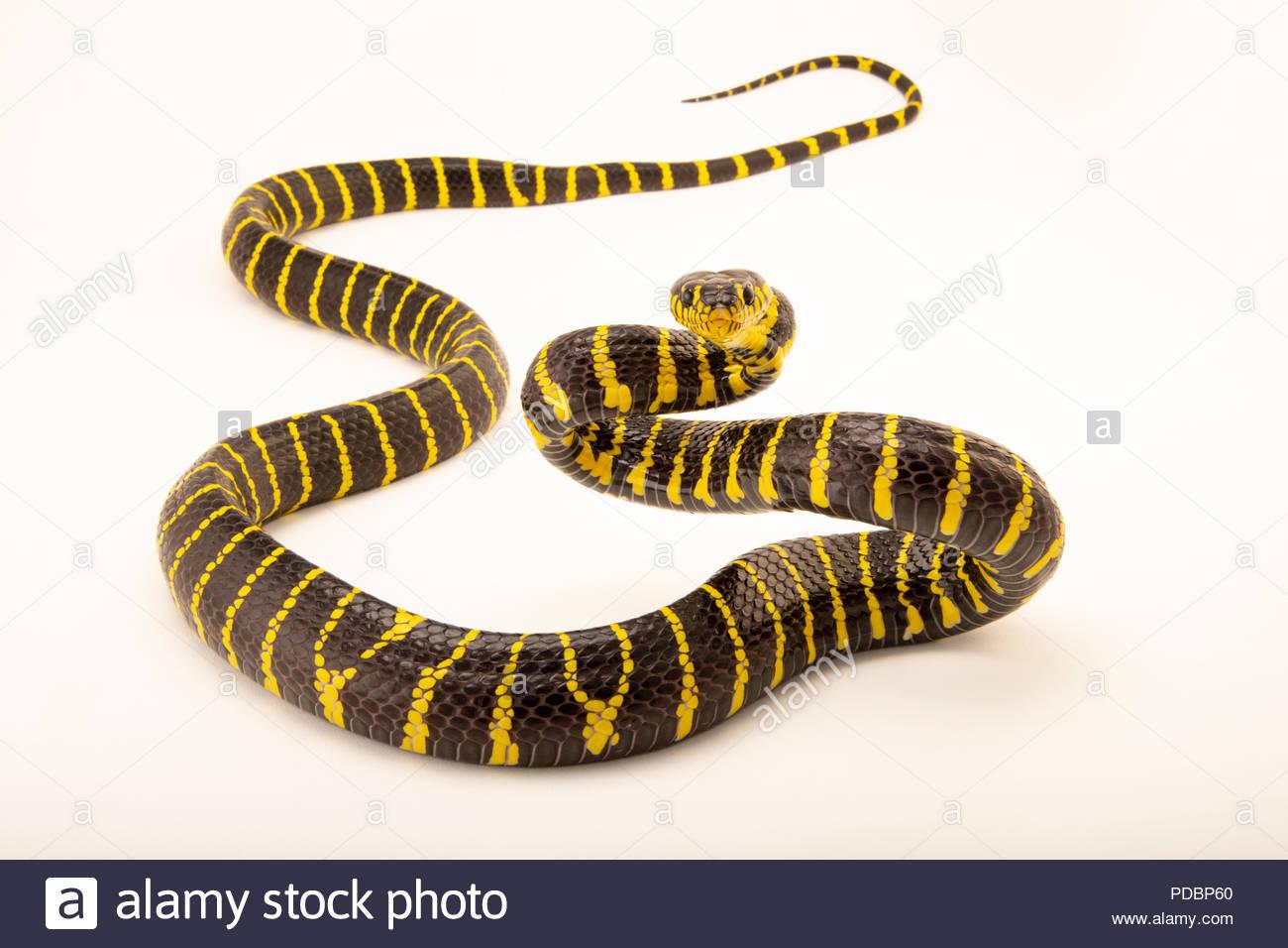 Philippine mangrove snake, Boiga dendrophila multicincta, at the Avilon Zoo. - Stock Image