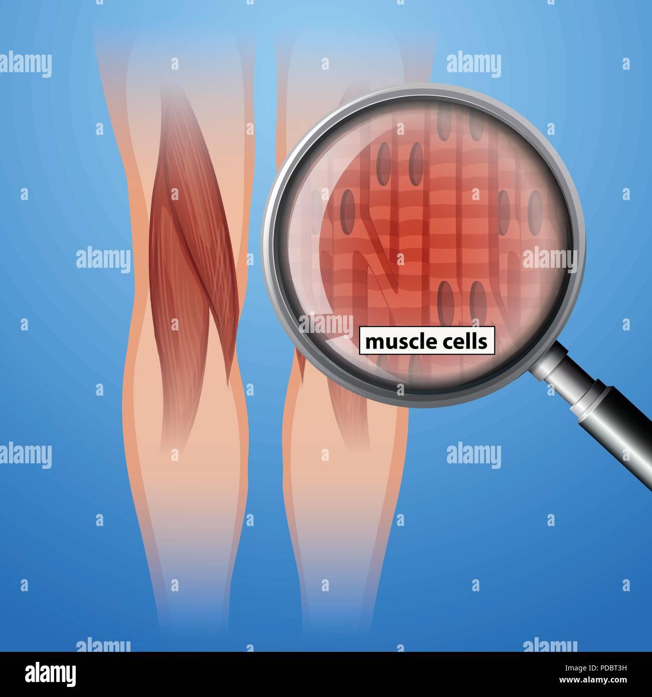Human Anatomy Muscle Cells Illustration Stock Vector Art
