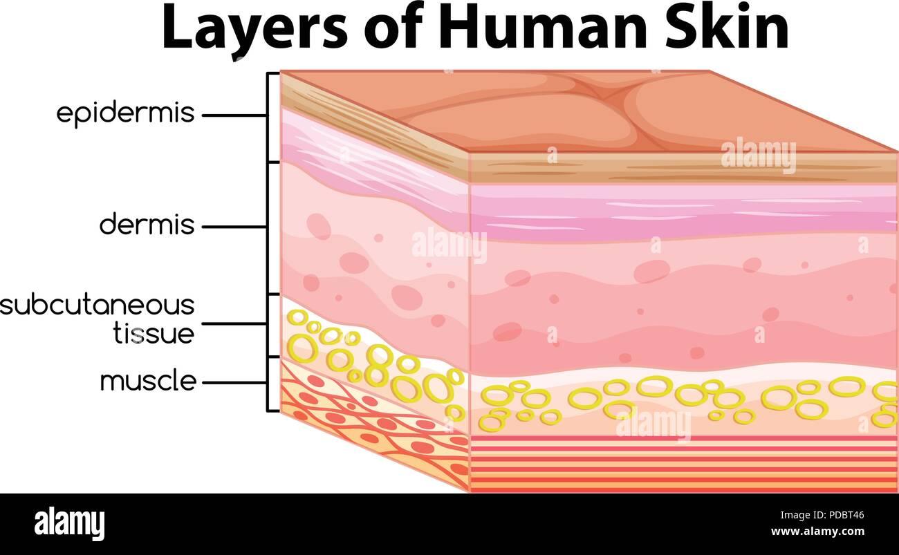 Skin Layers Stock Photos Skin Layers Stock Images Alamy