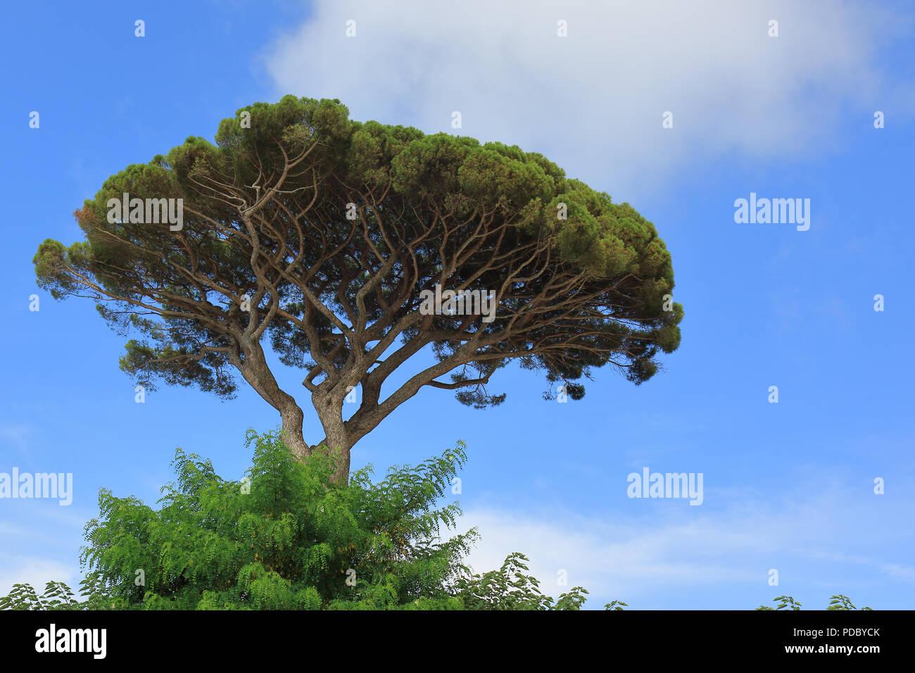 EVERGREEN CONIFER TREE or Umbrella Pine PINUS PINEA plant EDIBLE SEEDS
