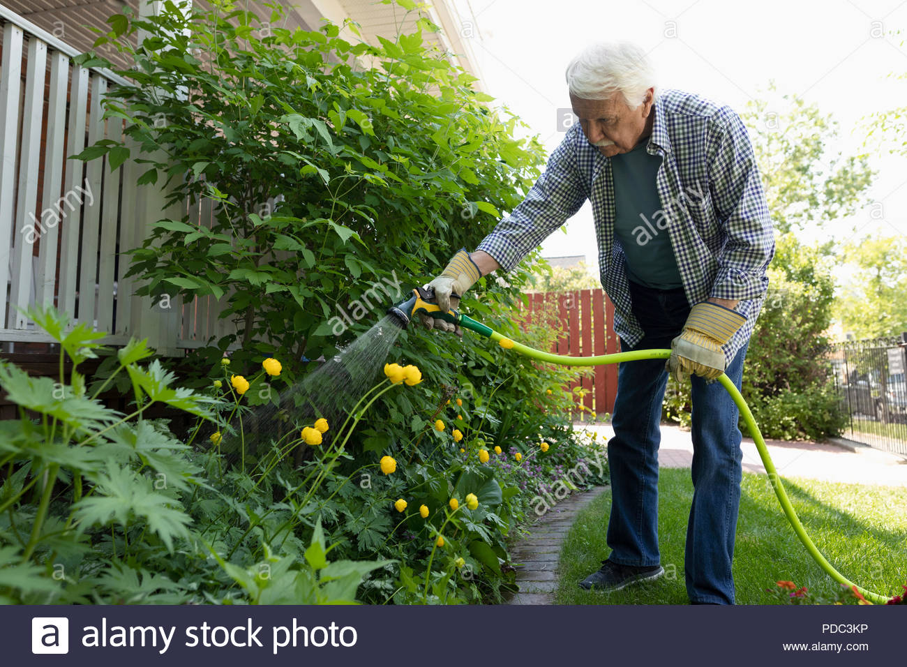Senior man with hose watering garden - Stock Image