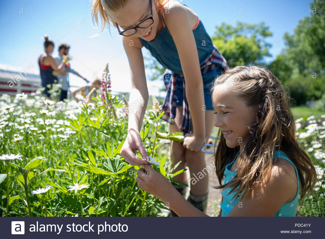 Sisters gardening, picking daisies in sunny rural garden - Stock Image