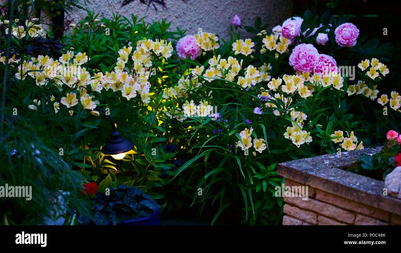 Beautiful mixed display of Alstroemeria also known as Peruvian lily and pink peonies with so outdoor garden lighting Stock Photo