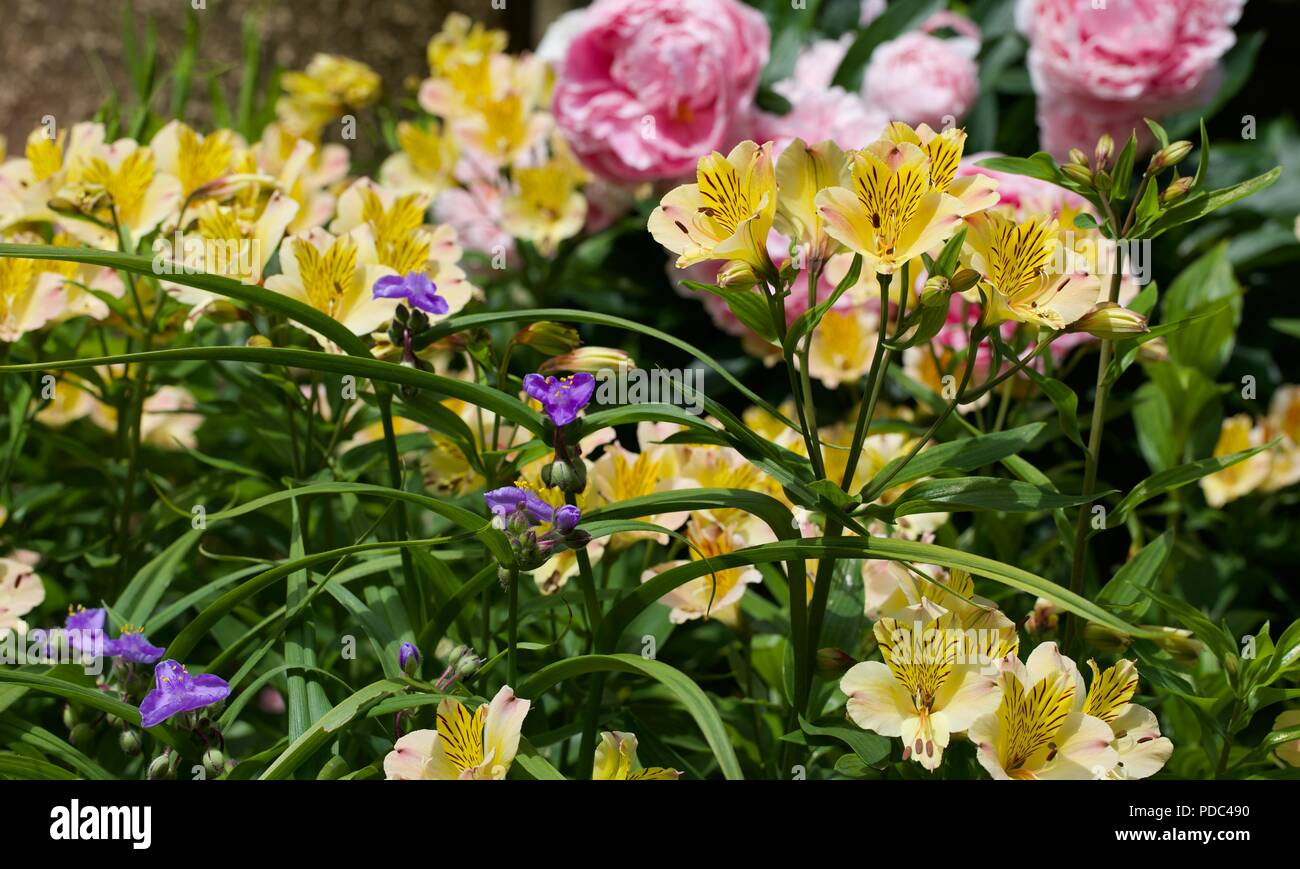 Alstroemeria 'Yellow Friendship' also known as Peruvian lily with pink Peonies in the background Stock Photo