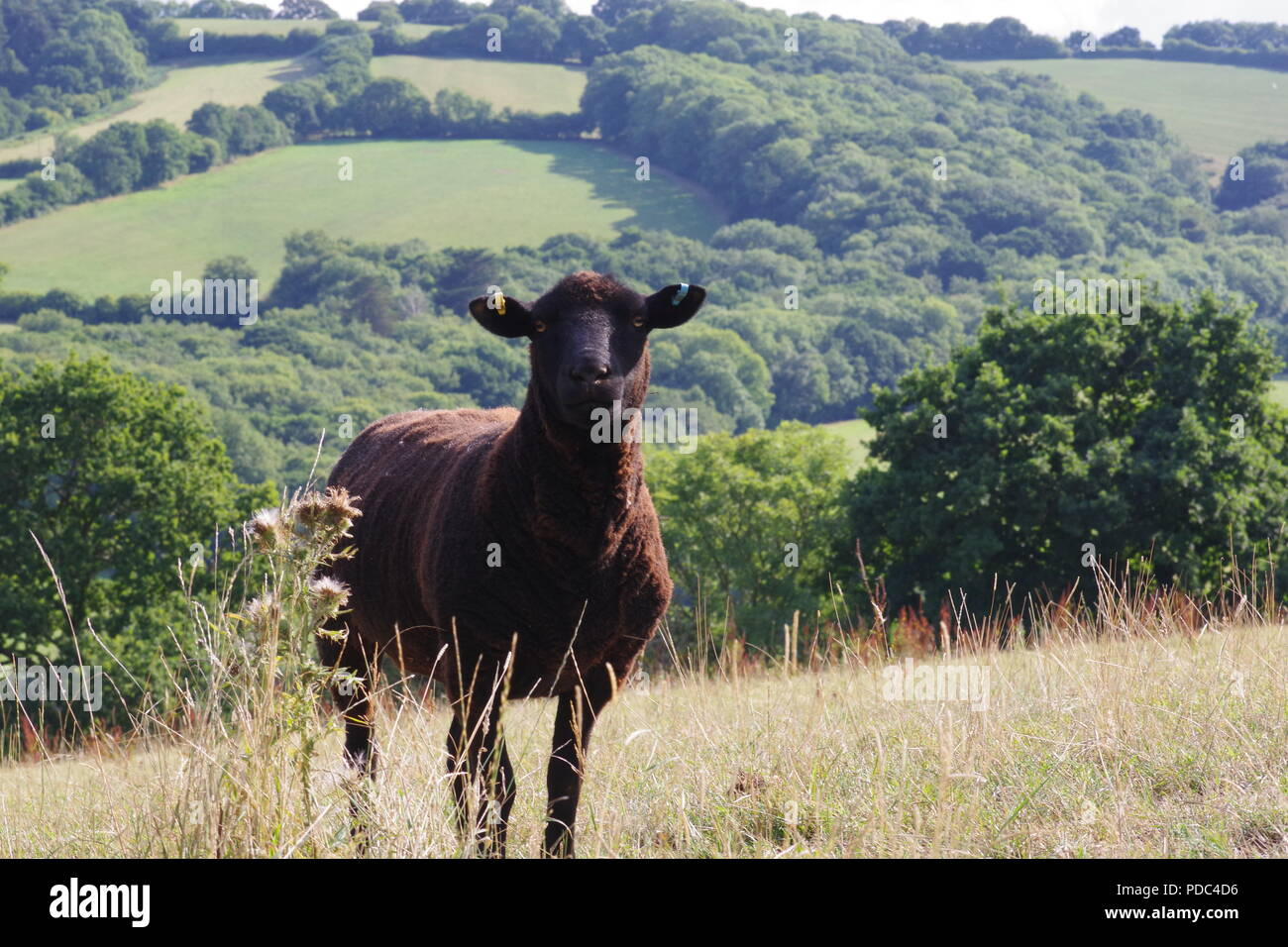 Black Sheep in a Pasture Field with Rolling Wooded Devon Farmland beyond. Whitestone, Exeter, Devon, UK. August, 2018. Stock Photo