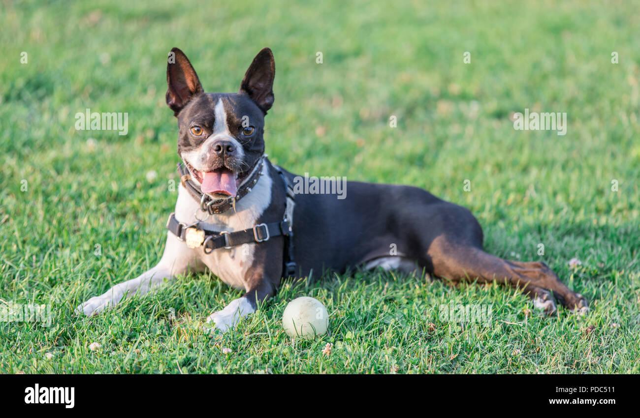 Boston Terrier Female Resting. - Stock Image