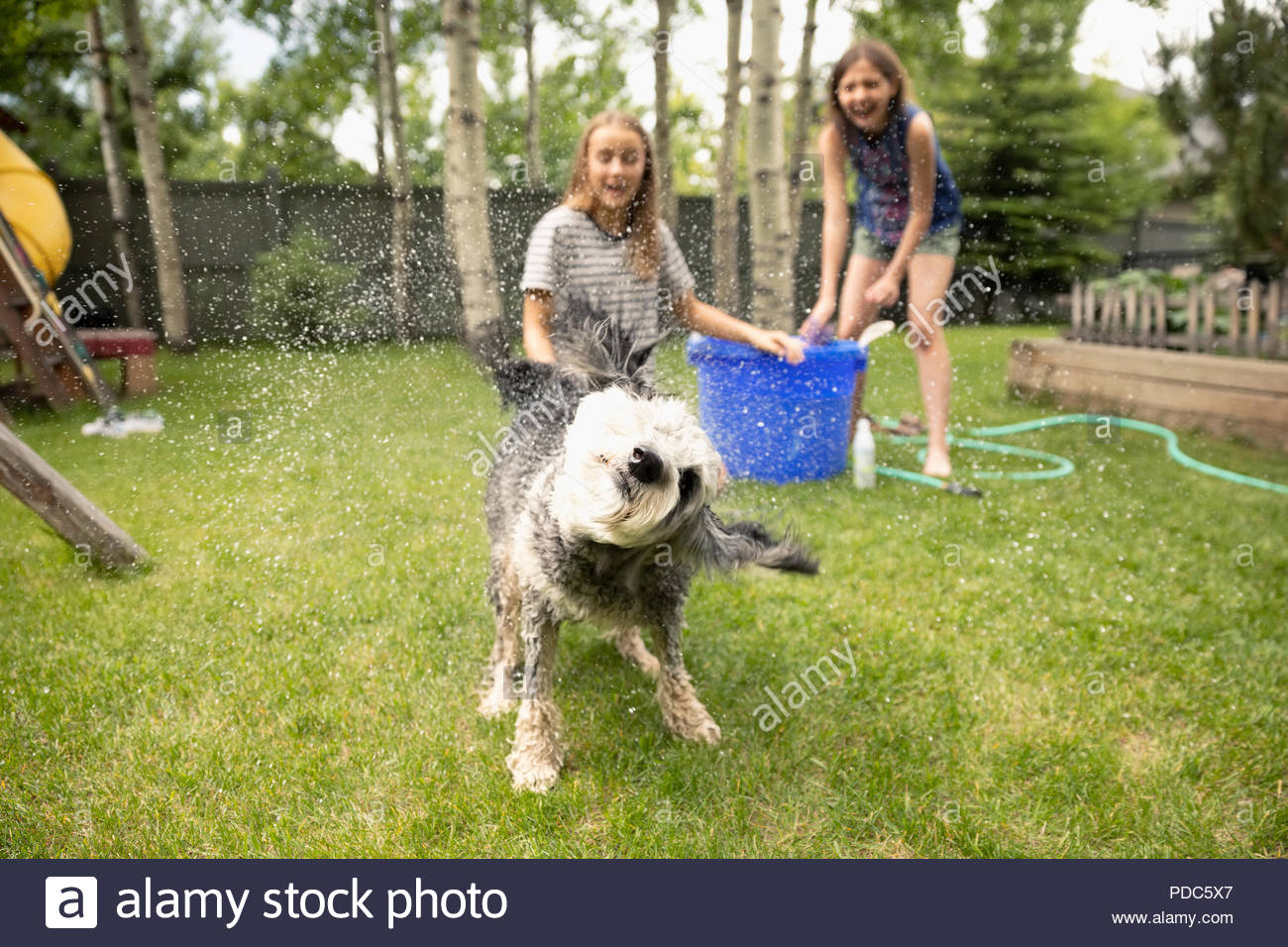 Tween girl friends giving dog bath in backyard, watching dog shaking off water - Stock Image