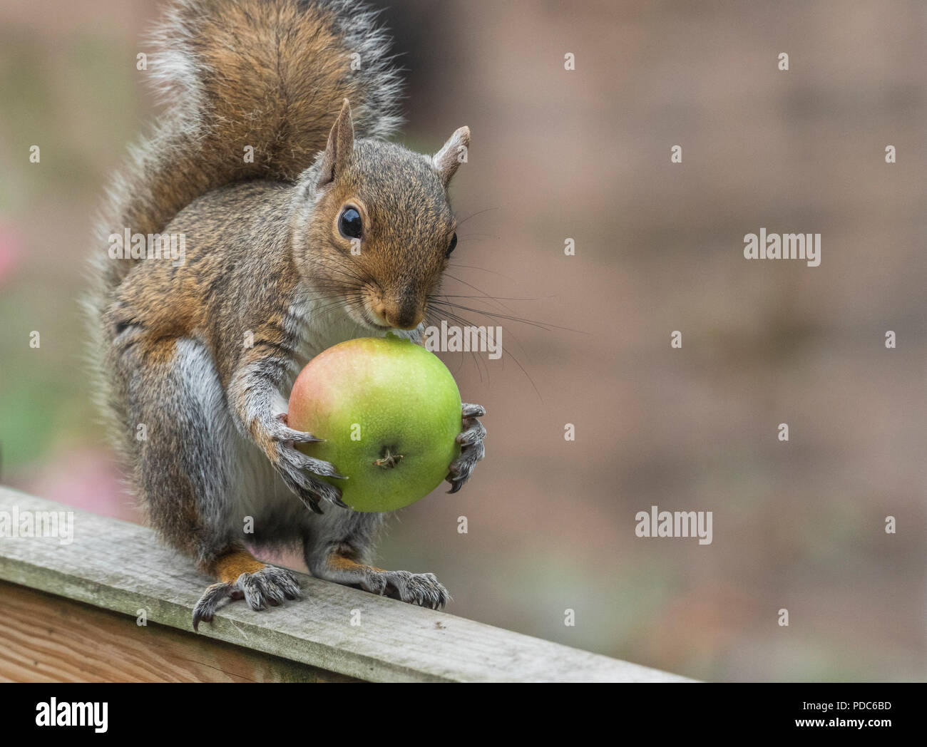 A grey squirrel (UK) with an apple. - Stock Image