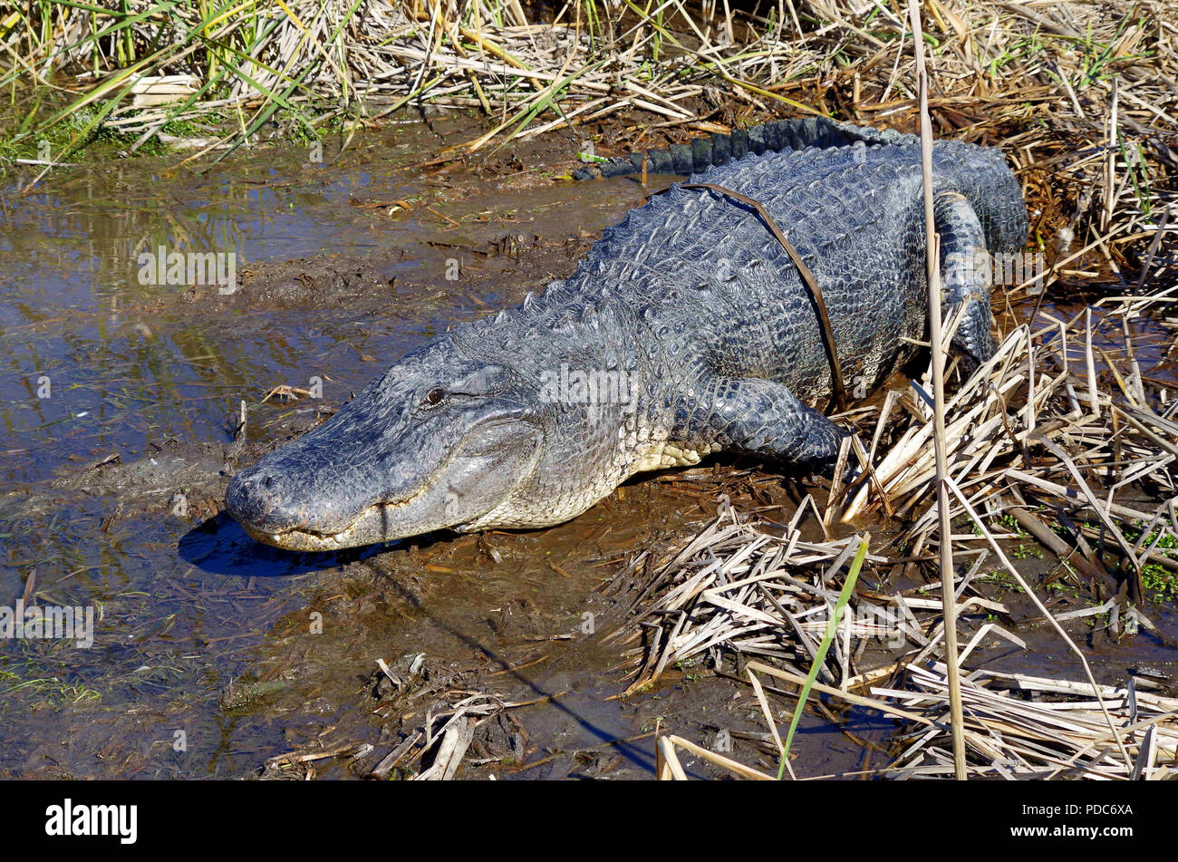 American Alligator Photographed at the Leonabelle Turnbull Birding Center in Port Aransas, Texas USA near Corpus Christ. Stock Photo