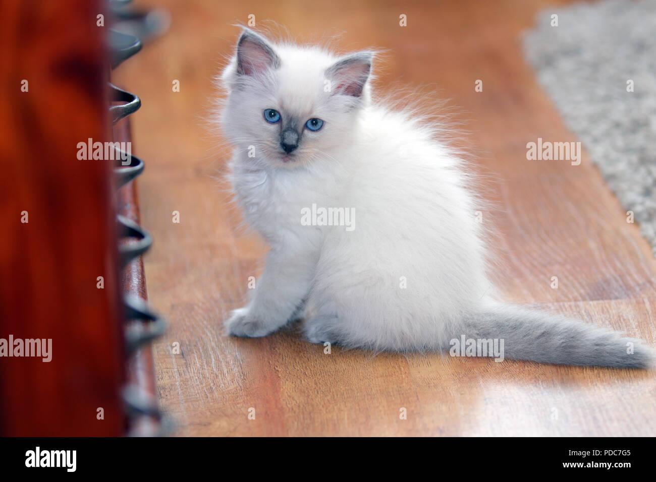 Cute Ragdoll Kitten Stock Photos & Cute Ragdoll Kitten Stock
