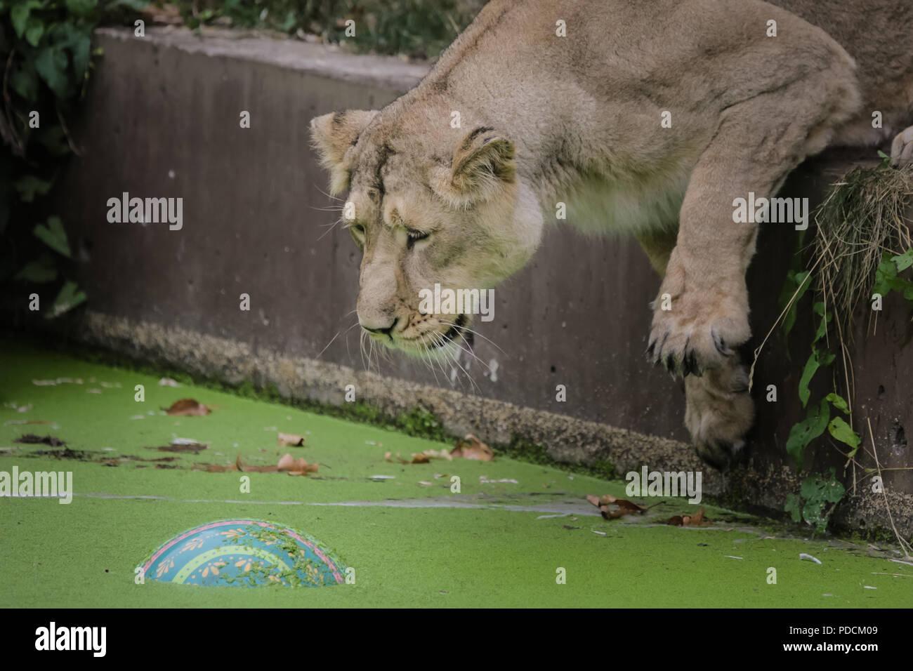 London, UK. 9th August, 2018. ZSL London Zoo's Asiatic lionesses celebrate World Lion Day. Credit: Chris Aubrey/Alamy Live News Stock Photo