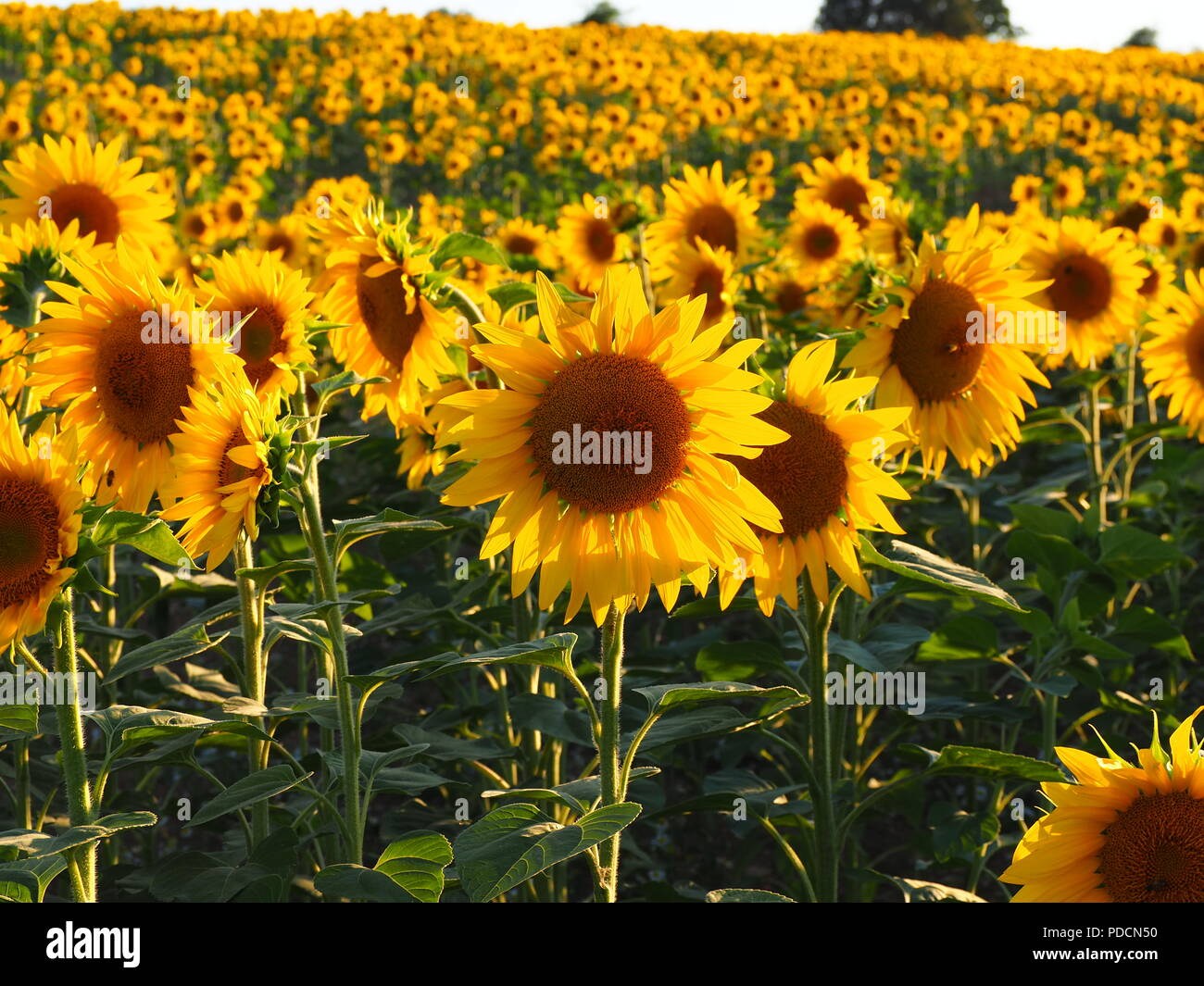 Bright yellow Sunflowers in evening light at Wigginton, Nr Tring, Hertfordshire - Stock Image
