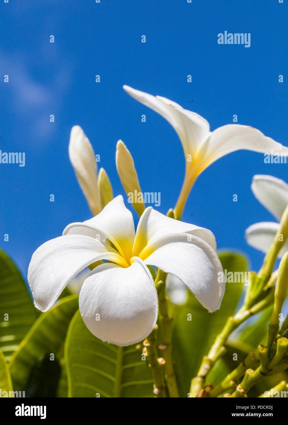 White With Yellow Center Plumeria Blossoms Are Also Known As Lei
