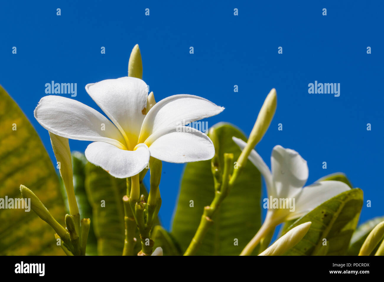 White with yellow center plumeria blossoms are also known as lei white with yellow center plumeria blossoms are also known as lei flowers and frangipani and used to make traditional hawaiian leis aganist a blue sky izmirmasajfo