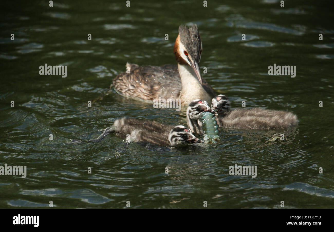 A family of stunning Great Crested Grebe (Podiceps cristatus) swimming in a river. The parent bird is feeding a Crayfish to the babies. - Stock Image