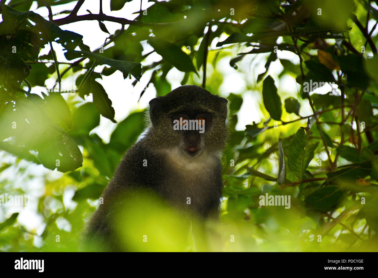 The Syke's or Gentle Monkey is the only other species of primate found on Zanzibar, along with the Red Colobus and Humans. - Stock Image