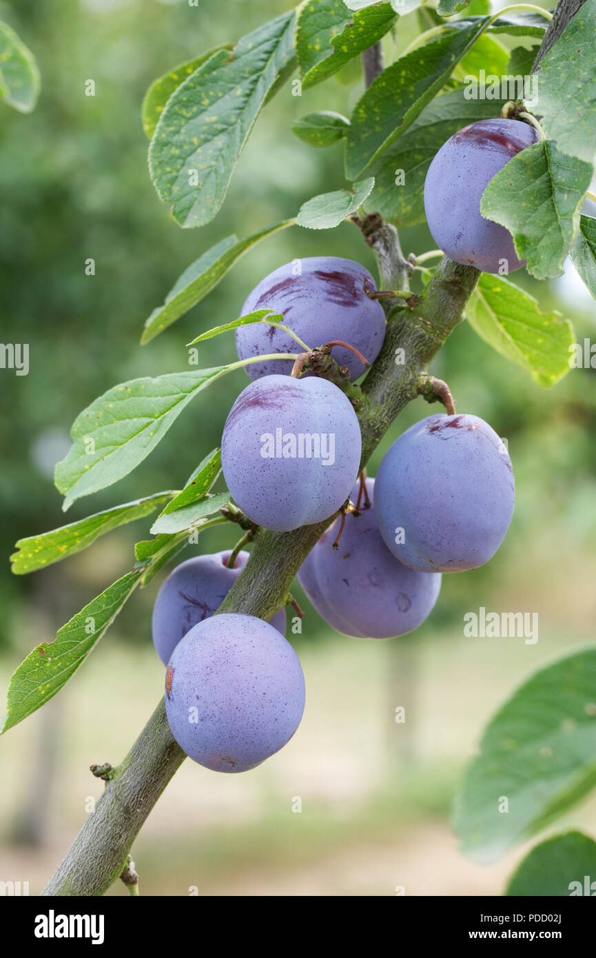 Prunus domestica . Plums on a tree. - Stock Image