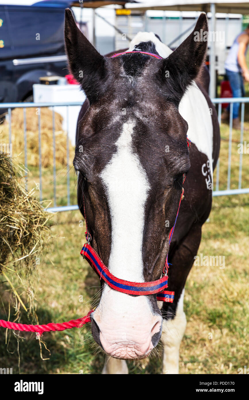 Horse, horse head, front of horse, horse face, tied up horse, horse tied up, horses, horses head, horses face, horse front on, horse eyes, horses eyes - Stock Image