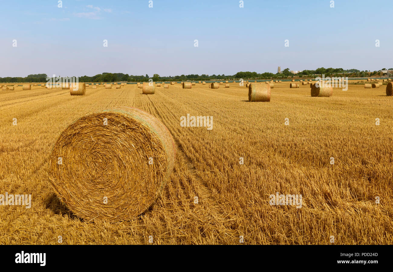 Bales of hay after reaping wheat field on a summer morning during a heat wave in rural Beverley, Yorkshire, UK. - Stock Image