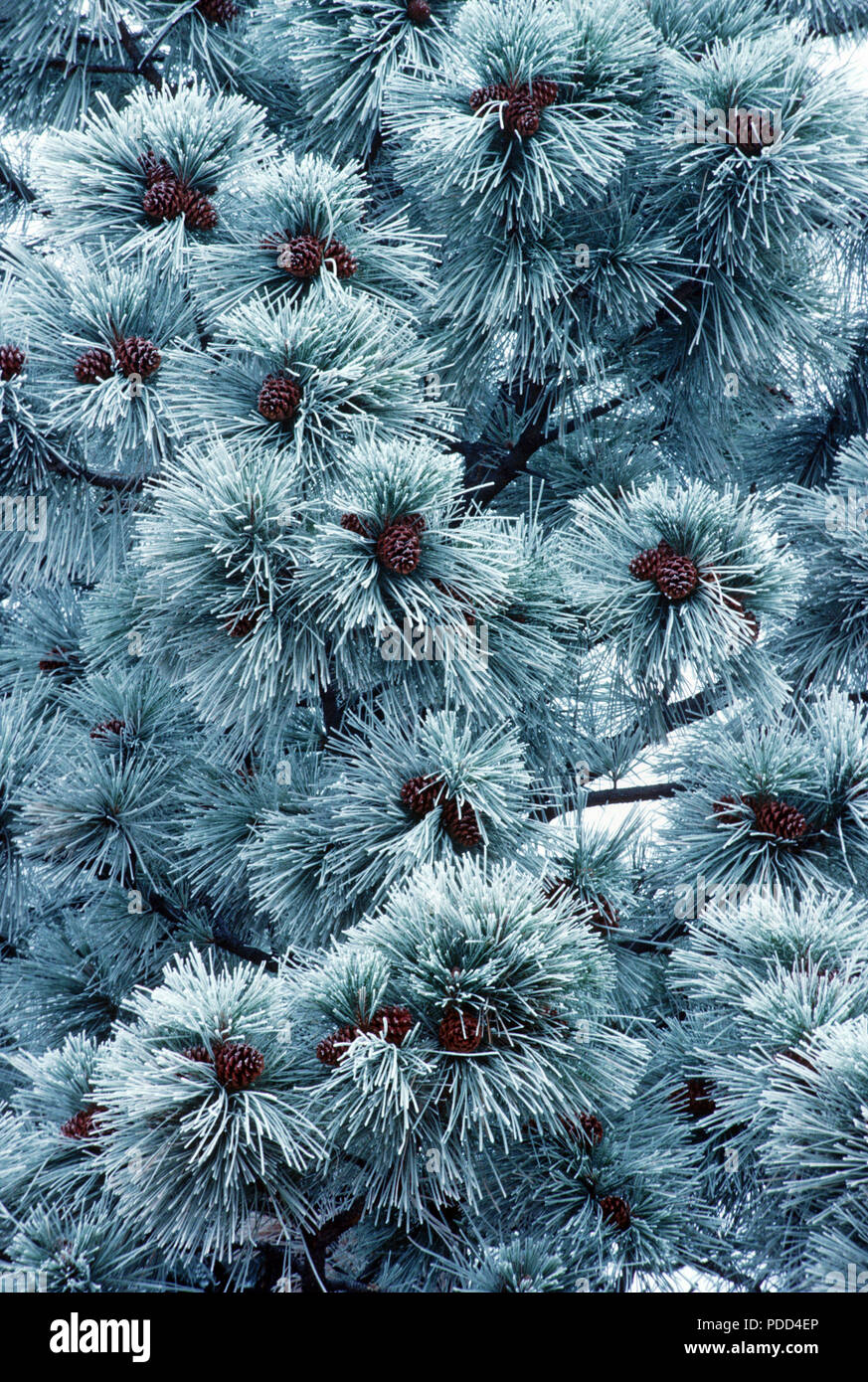 Frosted needles and bark of ponderosa pine, Pinus ponderosa, western Montana - Stock Image