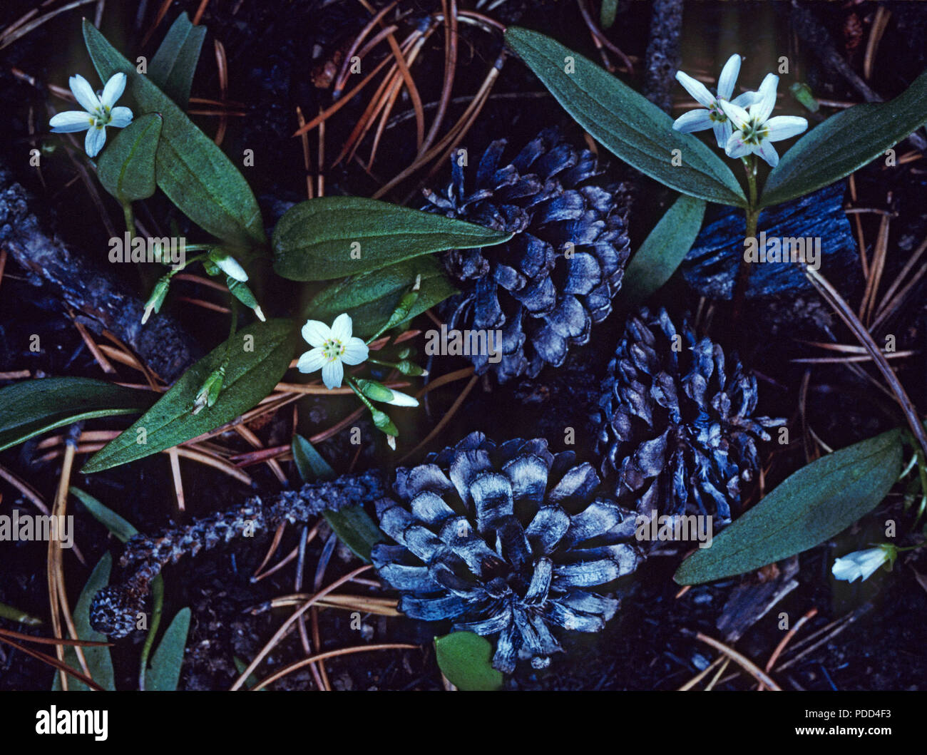 Fire succession, the year after a fire. Opened serotinous lodgepole pine cones and wildflowers on forest floor, Yellowstone National Park. Renewal - Stock Image