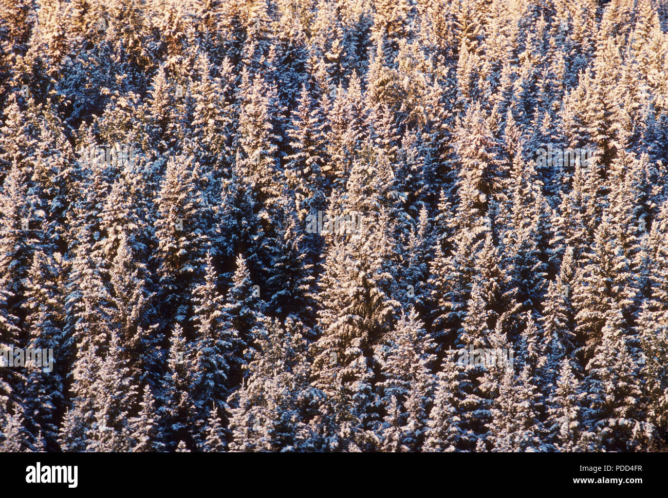 Taiga, boreal forest, coniferous evergreen forest. White spruce, Picea glauca, trees with snow, Alberta - Stock Image